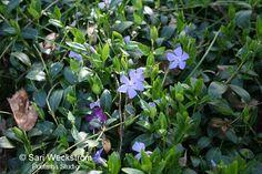 Pikkutalvio Parhaat talvivihreät perennat - Sarin puutarhat