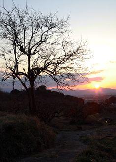 天理市 渋谷町(しぶたにちょう) 柿の木と夕日
