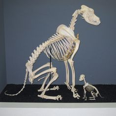 great dane and chihuahua skeletons
