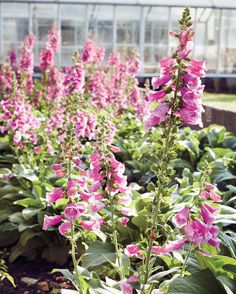 Foxgloves grow by the greenhouse.