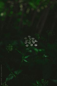 Wild Umbelliferae white flower enlighted by sunray in shady undergrowth by Laura Stolfi - Stocksy United Spring Photography, Creative Photography, Nature Photography, Green Butterfly, Butterfly Sketch, Innocence Lost, Realm Reborn, Spring Aesthetic, Forest Creatures