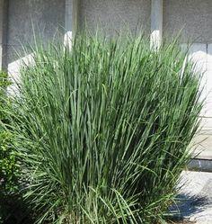 Grass - Panicum