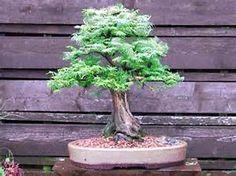 RP: California Redwood Sequoia Sempervirens   eBay.com
