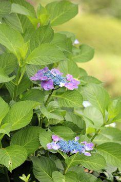 #hydrangea, #flowers, #green, #rainy season, #garden,
