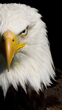 Animal/Bald Eagle Wallpaper ID: 546803 - Mobile Abyss Eagle Wallpaper, Bird Wallpaper, Animal Wallpaper, Wallpaper Backgrounds, Eagle Images, Eagle Pictures, 4k Wallpaper Android, Bold Eagle, Animals And Pets