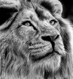 Lion by ~raulrk on deviantART [Charcoal Drawing]