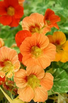 I love Nasturtium!! They can be many different colors, they can climb, and the flowers are edible.