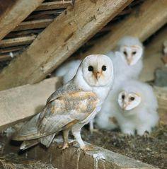 Barn Owl Family Portrait