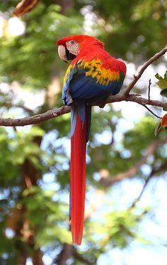 araracanga (Ara macao) por Valdir Hobus | Wiki Aves - A Enciclopédia das Aves do Brasil