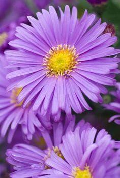 Nenáročné astry sú na jeseň očarujúce: Čím podporíte bohatú násadu kvetov?
