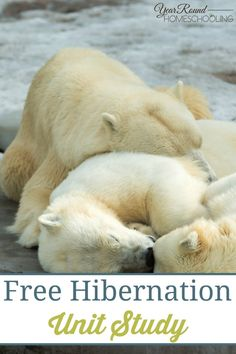 LESSON PLANS continues, many animals began the process of hibernation. During the summer, they eat to gain weight. During the early fall, they make nests or build dens. Then as temperatures get colder, they settle in for a long winter's nap. Kindergarten Science, Preschool Lessons, Preschool Activities, Science Lessons, Polar Bear Hibernation, Hibernating Animals, Polar Bears, Animals That Hibernate, Artic Animals