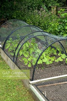 Nylon and wire netting protection from rabbits and pigeons on plastic supports a. - Nylon and wire netting protection from rabbits and pigeons on plastic supports above raised bed - Garden Trellis, Garden Design, Garden, Fruit Garden, Raised Vegetable Gardens, Winter Garden, Raised Beds, Edible Garden, Organic Gardening