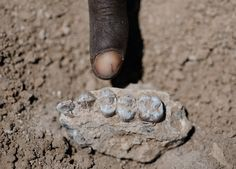The holtotype fossil jaw fragment of the ancient hominin Australopithecus deyiremeda.