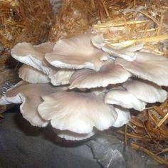 13 Best Shroomery images | Stuffed mushrooms, Fungi