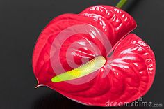 Stock Photo: Red anthurium flower gray background araceae table large genus flowering plants belonging to arum family.