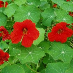 "Nasturtium Scarlet Gleam - (1935) Smothered in bright scarlet, semi-double blooms, this semi-trailing form is excellent for hanging baskets, window boxes, and containers.  Reaching 12-24"" in size, the leaves and flowers are edible (peppery taste). Zinnias, Petunias, Sun Garden, Growing Seeds, Seed Pods, Different Flowers, Garden Seeds, Edible Flowers, Edible Garden"
