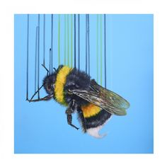 Bombus Terrestris (Bumble Bee) By Louise McNaught Dimensions (HxWxD): 50 × 50 × 0.1 cm