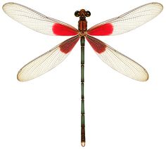 Hetaerina is a genus of damselflies in the family Calopterygidae. They are commonly known as Rubyspots because of the deep red wing bases of the males. Dragonfly Wall Art, Dragonfly Tattoo, Dragonfly Illustration, Children's Book Illustration, Beautiful Bugs, Cute Frogs, Butterfly Jewelry, Hand Embroidery Designs, Wildlife Art