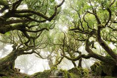 """Forest Avenue - """"Forest Avenue""""  Some magic happens in the laurel forests of Madeira. High above the Atlantic this hidden gem gets immersed in rising fog at different time intervals. Sometimes you have to wait just a few hours, sometimes almost a week. Definately one of the last remaining wild Wonders of Europe!  Prints and licensing available.  <a href=""""https://www.facebook.com/StefanHefelePhotography"""">Facebook Fan Site</a>  <a…"""