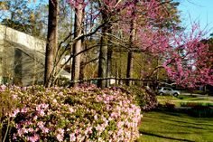 Azaleas and Red Bud Tree in bloom - Beau Chene - Louisiana Lake Pontchartrain, New Orleans Louisiana, North Shore, Bud, Sidewalk, Bloom, Garden, Garten, Side Walkway
