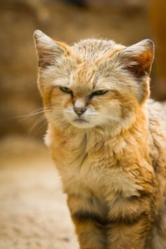 magicalnaturetour:sand cat (by Cloudtail)