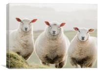 3 sheep watching, Canvas Print