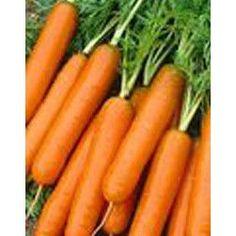 Little Finger - Carrot Seeds