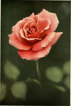"Image from page 364 of ""The practical book of outdoor rose growing for the home garden"" (1915) 