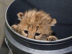 adorable baby cheetah hiding in a bucket
