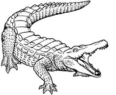 Here are some free printable sheets for your kids who are interested in alligators and crocodiles. Feel free to add to the list with your own coloring pages. Crocodiles have 24 sharp teeth while alligators have between 74 and 80. Neither are friendly animals, but it's generally a lot safer to be around alligators because …