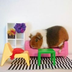 Meet Fuzzberta: Instagram's Cutest Guinea Pig (16 Pics) | Pleated-Jeans.com