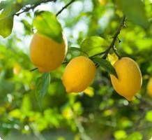Le livre présentant le régime citron a été écrit par Theresa Cheung, auteure anglo-saxon. Les nombreux atouts nutritionnels du citron ont été popularisés par un naturopathe du nom de Stanley Burroughs dans les années 1970.