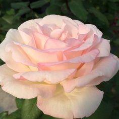 Kosmos floribunda rose