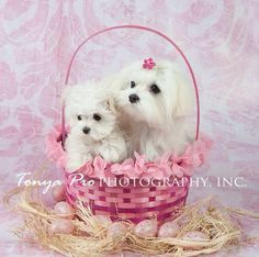 ❤️️️Mother and Baby Animals ~ Maltese Dog and Puppy Teacup Puppies, Cute Puppies, Dogs And Puppies, Teacup Maltese, Doggies, Lap Dogs, Dog Bike Carrier, Shih Tzu Hund, Mother And Baby Animals