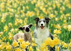 Photograph of Blue Merle Collie, Misty, with a lamb among daffodils. Rights managed image. Blue Merle Collie, Sheep And Lamb, Cute Creatures, Beautiful Cats, Panda Bear, Daffodils, Corgi, Cute Animals, Nature