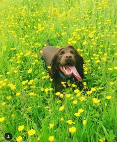 Spaniel in the buttercup fields
