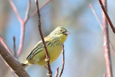 Black-faced bunting アオジ