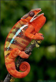 Panther Chameleon (Furcifer pardalis) Madagascar Reptiles Et Amphibiens, Mammals, Beautiful Creatures, Animals Beautiful, Cute Animals, Chameleon Lizard, Baby Chameleon, Tier Fotos, Fauna