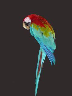 Papukaija (Kuva: Arja Ala-Korpi)