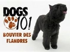 Bouvier des flandres...ultimate guard dog!