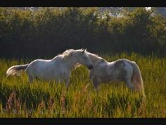 Photo of the white camargue horses in Parc Naturel Regional de Camargue Enya Music, France Information, Lovely Creatures, Provence France, Bird Species, Kinds Of Music, Wild Horses, Beautiful Horses, Perfect Place