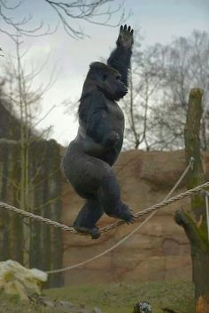 Kidogo, a 12 year-old Gorilla who lives in Krefeld Zoo in Germany, gained sudden fame to demonstrate ability to walk the tightrope and perform jumps from trees, in falls reminiscent of the action of a gymnast. : the [JornalCiencia] (Translated by Bin