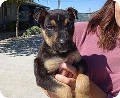 Lathrop, CA - Shepherd (Unknown Type) Mix. Meet Booker, a puppy for adoption. http://www.adoptapet.com/pet/15195837-lathrop-california-shepherd-unknown-type-mix