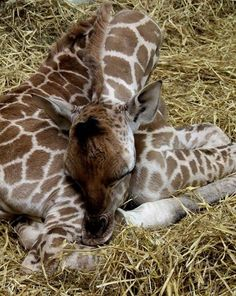 """Paignton Zoo Welcomes Worlds Tallest Baby   The tallest baby in the world has just been born at Paignton Zoo in Devon: a Rothschilds Giraffe calf, standing at nearly six feet tall. The as yet unnamed and unsexed calf was born to mother Janica and father Yoda on the morning August 20. Says Zoo Curator of Mammals Neil Bemment, """"The first thing that happens to a baby giraffe when it is born is a six foot drop onto the ground – it's a hard way to start!""""  Head over to Zooborns to see more photos…"""
