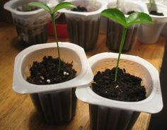 Cultiva limoneros desde semillas | Cuidar de tus plantas es facilisimo.com