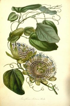Passiflora actinia (passionflower)    http://archive.org/details/mobot31753002747258