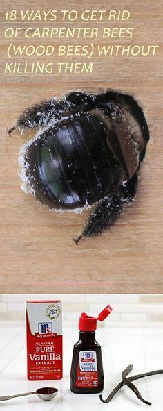 18 Ways to Get Rid of Carpenter Bees (Wood Bees) Without Killing Them Carpenter Bee Facts & Control. Carpenter Bee Trap, Wood Boring Bees, Wood Bees, Wood Bee Trap, Bee Repellent, Getting Rid Of Bees, Bee Traps, Bee Facts, Gardens