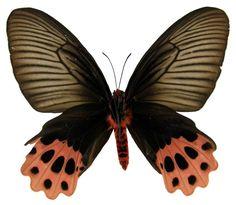 Papilionidae - Atrophaneura horishanus