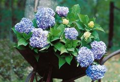 Hydrangea Macrophylla, Endless Summer, Blackberry, Floral Wreath, Fruit, Plants, Diy, Daybed, Products
