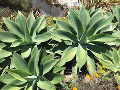 Alcatraz garden succulent